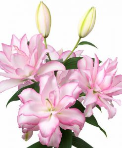 Anouska Double Rose Oriental Lily Bulbs