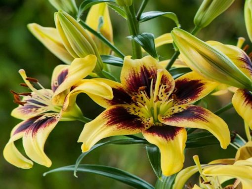 Pieton Asiatic Asian Lily Bulbs Flower