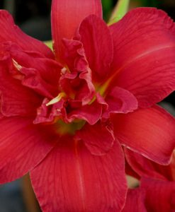 Highland Lord Double blooming daylily plant