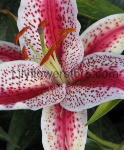 Tiger Woods Fragrant Oriental Lily Bulbs Flower